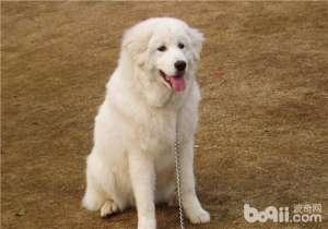 a_犬胸膜炎的诊断方法-狗狗常见病[新闻]